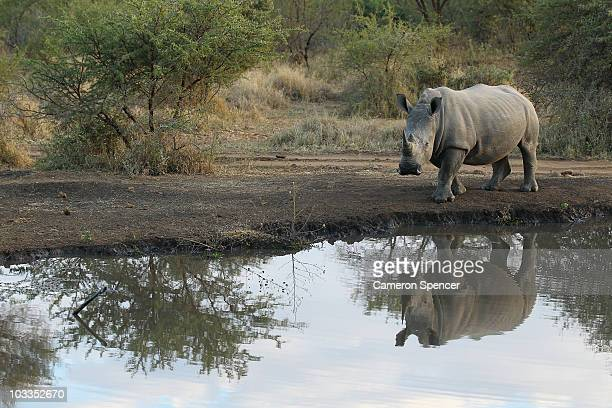 A rhinoceros walks to a watering hole on July 20 2010 in the Edeni Game Reserve South Africa Edeni is a 21000 acre wilderness area with an abundance...