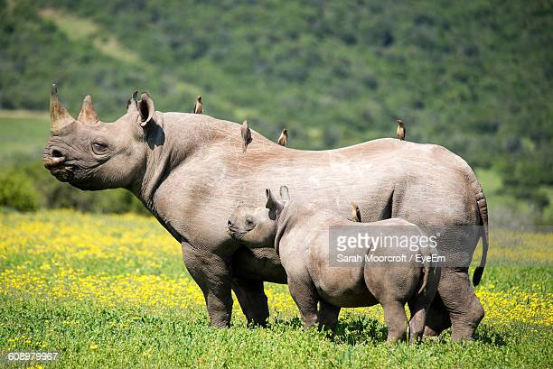 Rhinoceros With Calf On Grassy Field