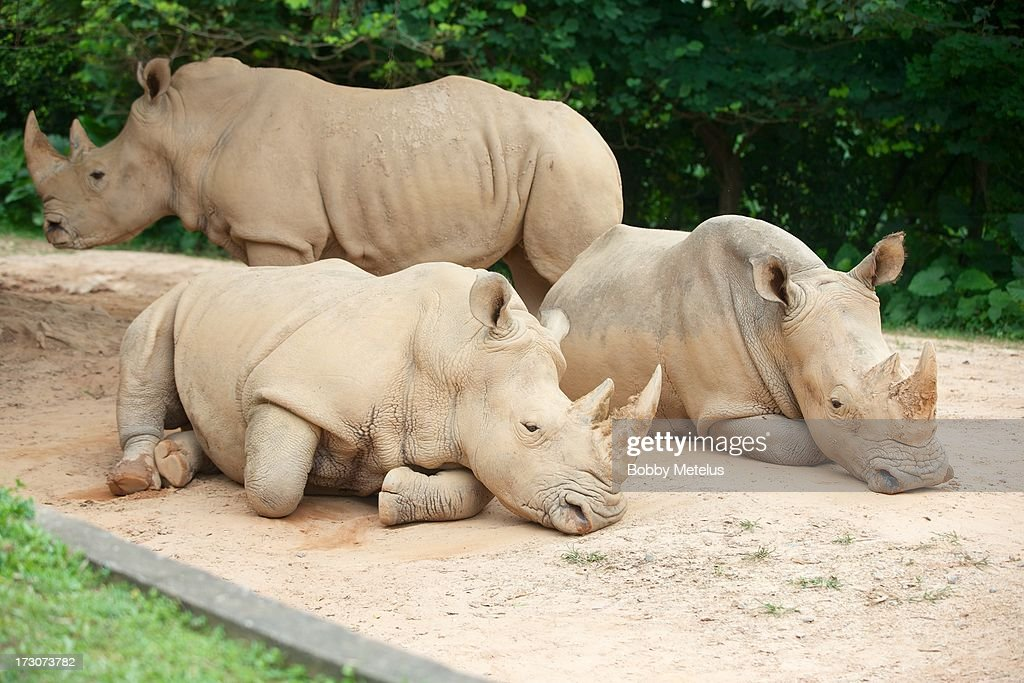 Rhinoceroses lie on the ground at Chimelong Safari Park on July 6, 2013 in Guangzhou, China.