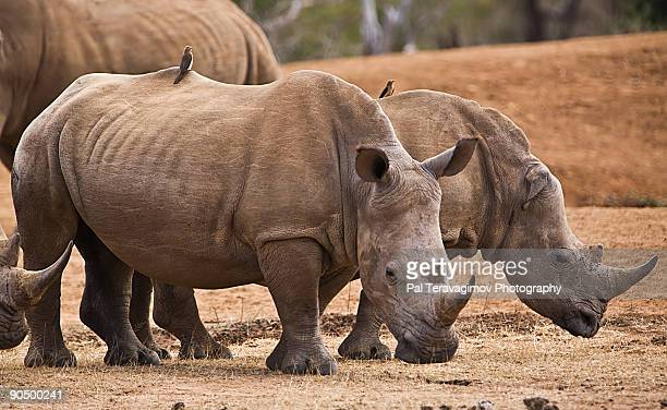 rhinoceroses - swaziland stock pictures, royalty-free photos & images