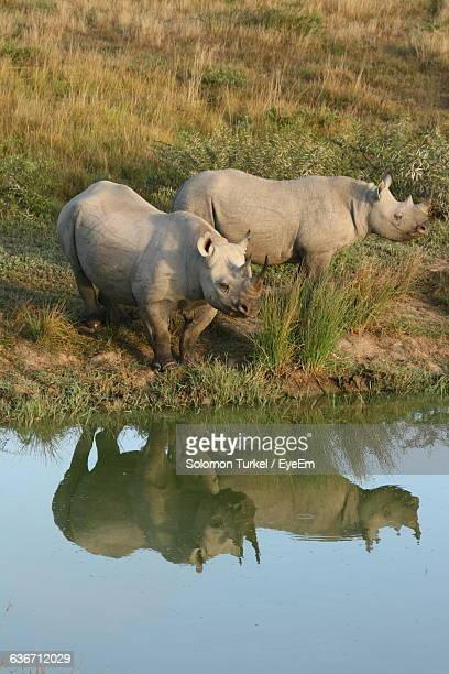 Rhinoceroses Standing With Reflection In Pond