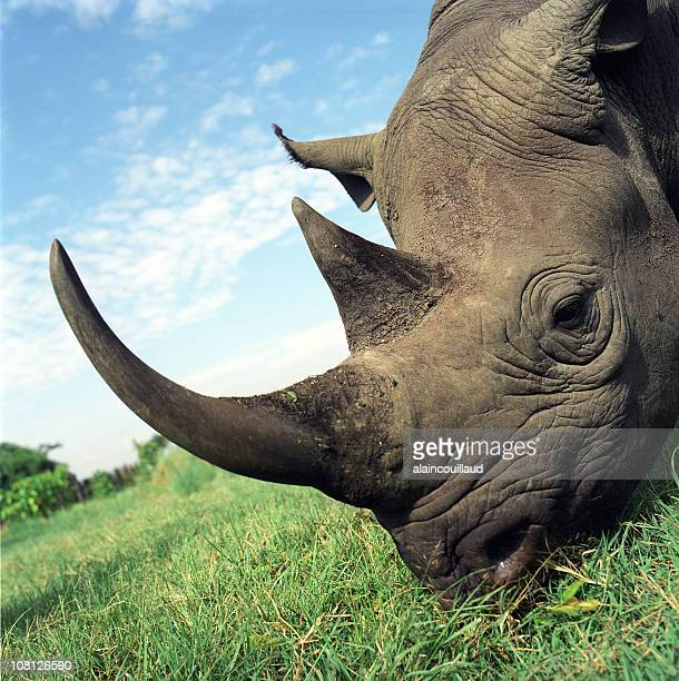 Rhinocerous Eating Grass in Africa