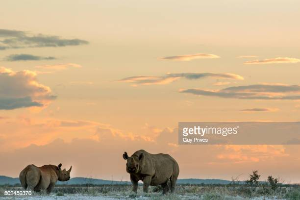 Rhinos at Sunset near the waterhole in Etosha Park, Namibia