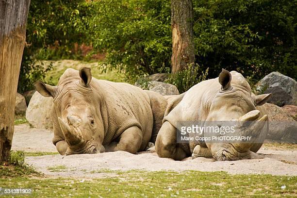 Rhinos relaxing