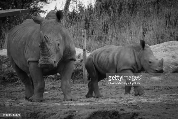 rhino's standing in a field - carlisle stock pictures, royalty-free photos & images