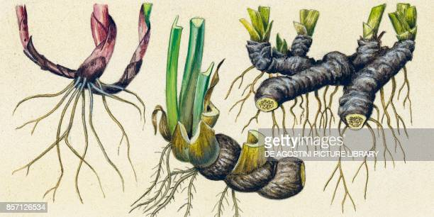 Rhizomes of lily of the valley iris and sweet flag drawing