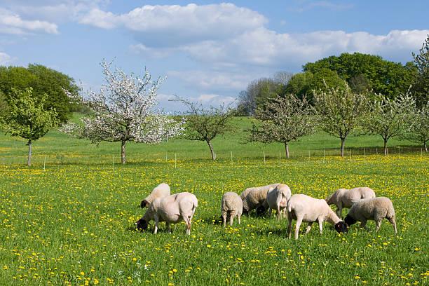 Rhönschafe Rhoen sheep graze on meadow in spring