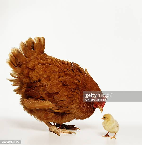 rhode island red chicken hen and chick - hart island stock pictures, royalty-free photos & images