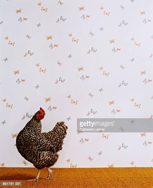 rhode island red rooster (gallus domesticus) in studio - funny rooster stock photos and pictures