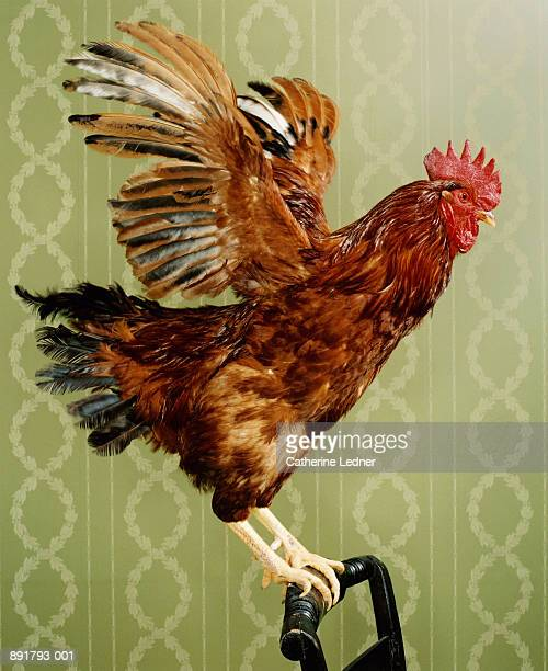 Rhode Island Red Rooster (Gallus domesticus) on chair