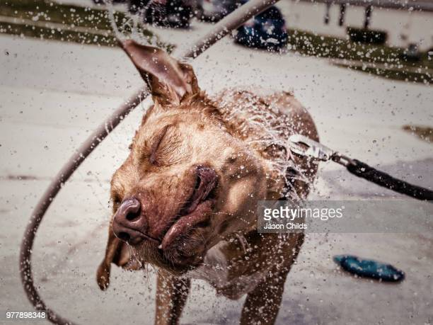 Rhodesian dog shaking off from water
