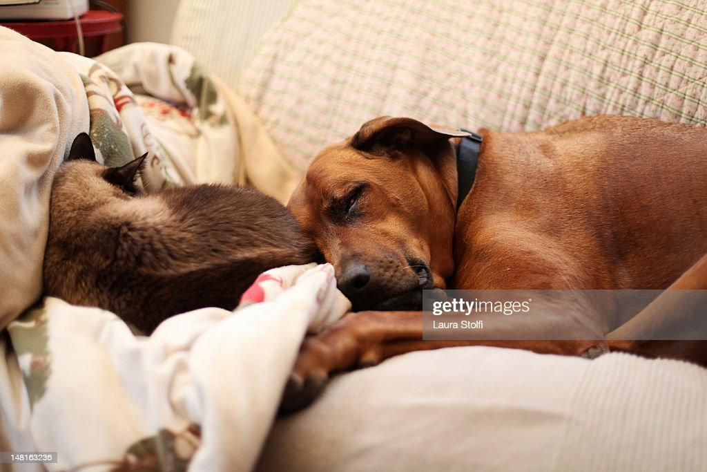 Rhodesian Ridgeback Dog And Cat Sleeping Together Stock Foto Getty