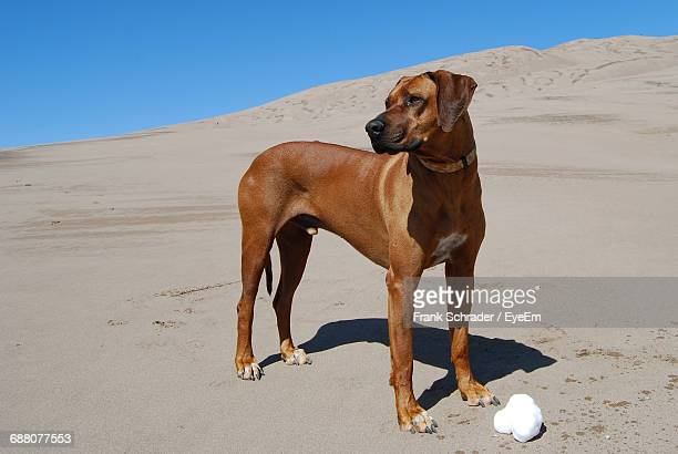 rhodesian ridgeback dog standing at great sand dunes national park - frank schrader stock pictures, royalty-free photos & images