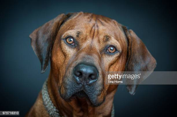 rhodesian ridgeback portrait - light brown eyes stock photos and pictures