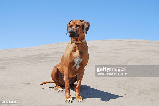 rhodesian ridgeback sitting at beach against sky - frank schrader stock pictures, royalty-free photos & images