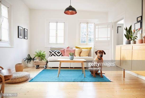 rhodesian ridgeback sitting in bright modern livingroom - living room stock-fotos und bilder