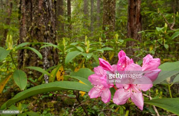 Rhododendron blooming in forest McKenzie River Trail Willamette National Forest Oregon