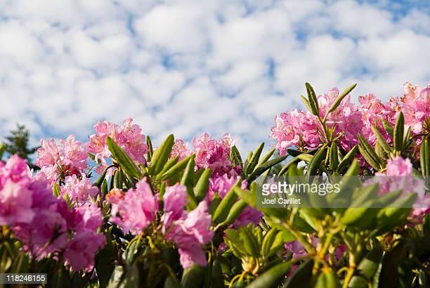 Rododendro cerezos en flor en Roan a las montañas