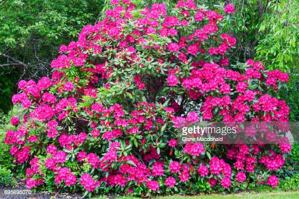 A rhododendron bush in Massachusetts