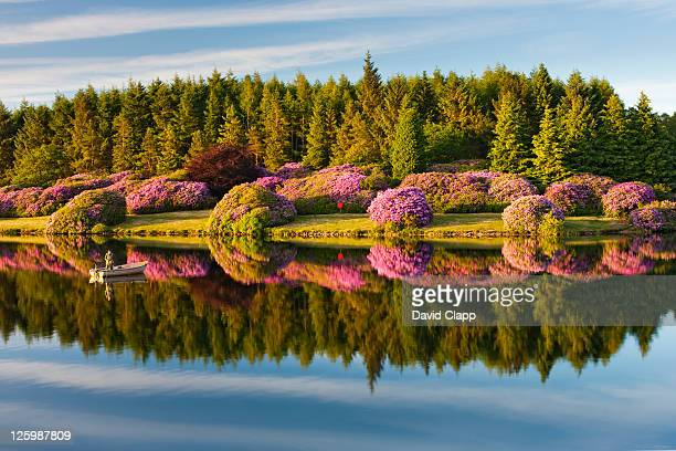 Rhododendron bushes reflected in water on banks of reservoir in Dartmoor, Devon, UK