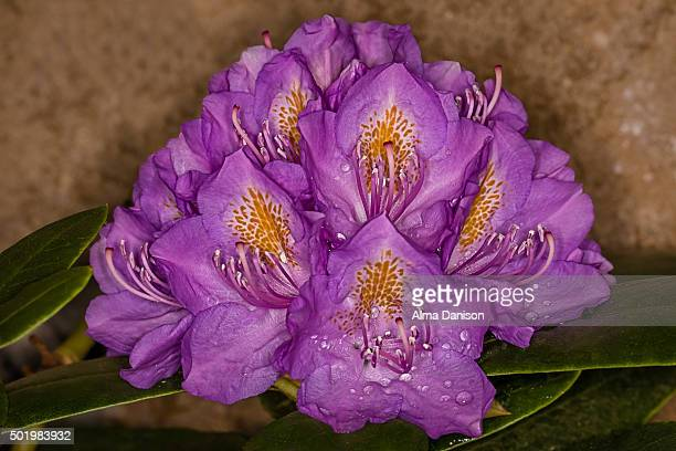 rhododendron flower against brick wall - alma danison stock photos and pictures