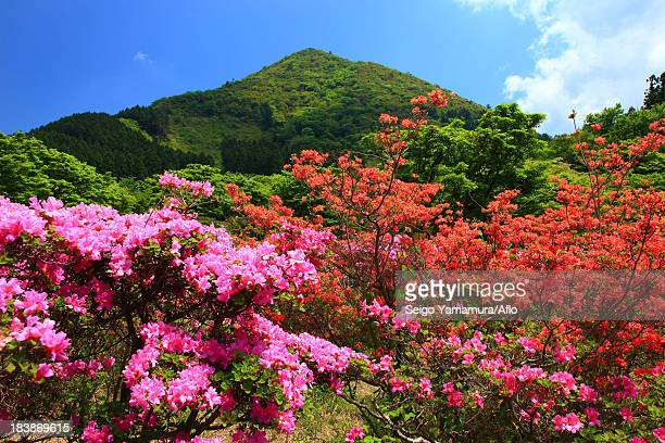 rhododendron flowers, nagasaki prefecture - 五月 ストックフォトと画像