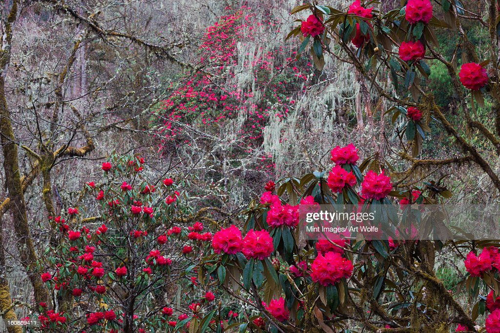 Rhododendron in bloom in the forests of Paro Valley, Bhutan : Stock Photo