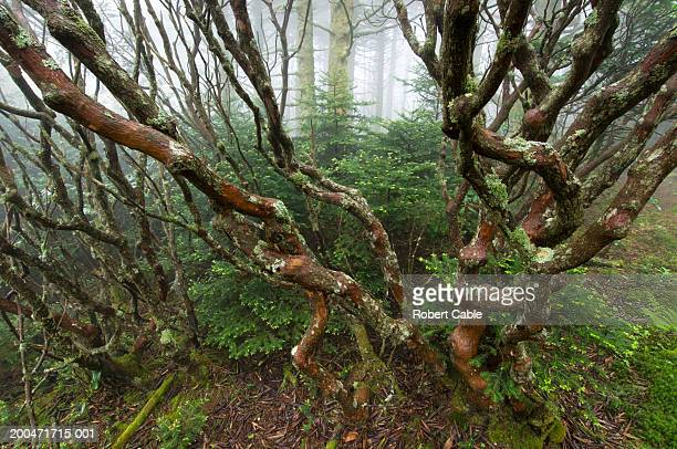 Rhododendron (Rhododendron catawbiense) in forest, (wide angle)