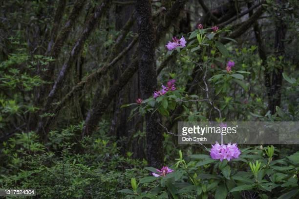rhododendron in jedediah smith state park, northern california - don smith stockfoto's en -beelden