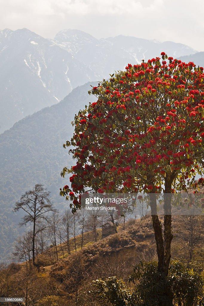 Rhododendron on mountain : Stockfoto