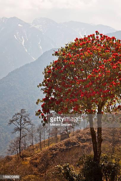 rhododendron on mountain - merten snijders ストックフォトと画像