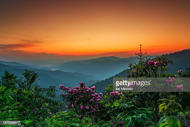 rhododendron on the blue ridge parkway explored 6/ - blue ridge parkway stock pictures, royalty-free photos & images