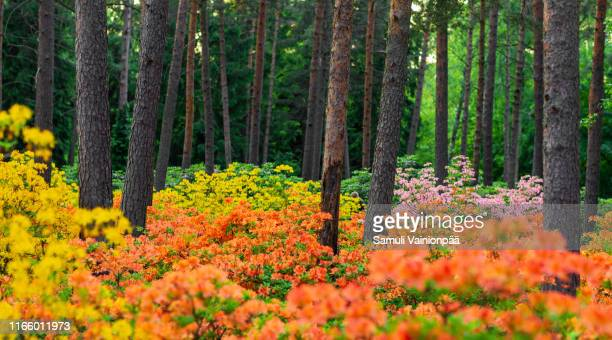 rhododendron park, helsinki, finland - field of daffodils stock pictures, royalty-free photos & images