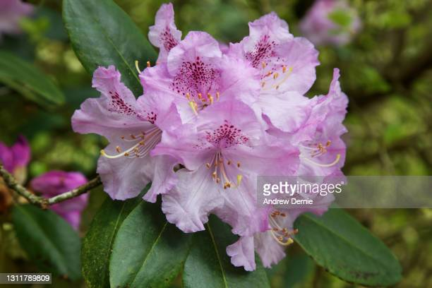 rhododendron - andrew dernie stock pictures, royalty-free photos & images