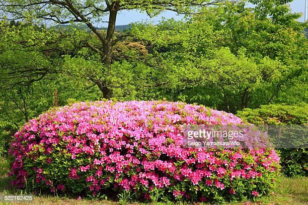 rhododendron - 佐賀県 ストックフォトと画像