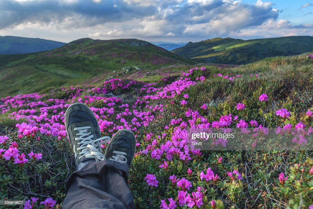 rhododendron : Stock Photo