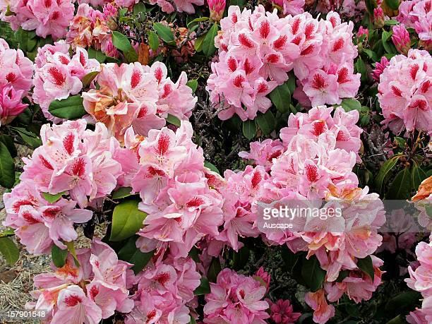 Rhododendron showy pink flowers Emu Valley Rhododendron Gardens near Burnie Tasmania Australia