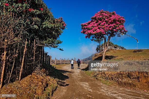 rhododendron tree along singalila ridge trek - mountain ridge stock pictures, royalty-free photos & images