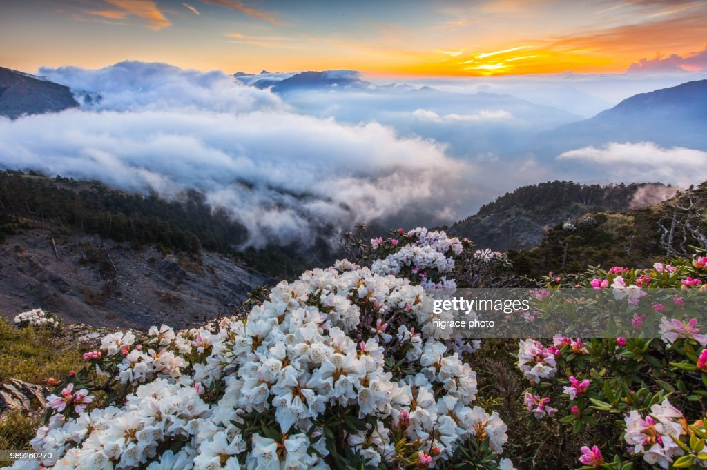 Rhododendron, Yushan Rhododendron (Alpine Rose) Blooming by the Trails of Taroko National Park, Taiwan : Stock Photo