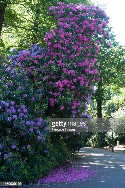 Rhododendrons along the side of the road near Kenwood House Hampstead Heath Hampstead London NW3 England Artist Ethel Davies