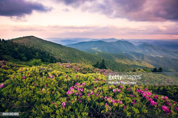 rhododendrons bloom on roan mountain - tennessee stock pictures, royalty-free photos & images