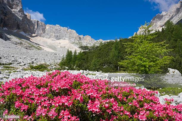 Rhododendrons, Garland Rhododendron, Hairy Alpine-rose, Alpen Rose, Alpine Rose, Alpenrose, Snow-rose (Rhododendron hirsutum) near Sorapis Lake, Gruppo del Sorapiss, Dolomites, Alto Adige, South Tirol, Alps, Italy, Europe