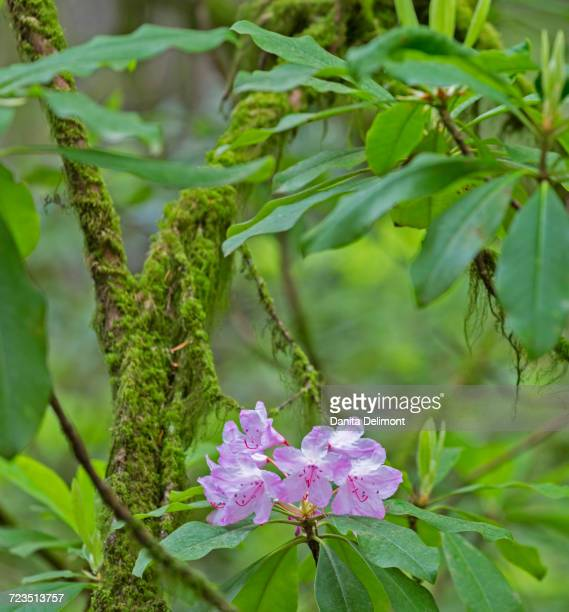 Rhododendrons in bloom, Jedediah Smith Redwoods State Park, California, USA