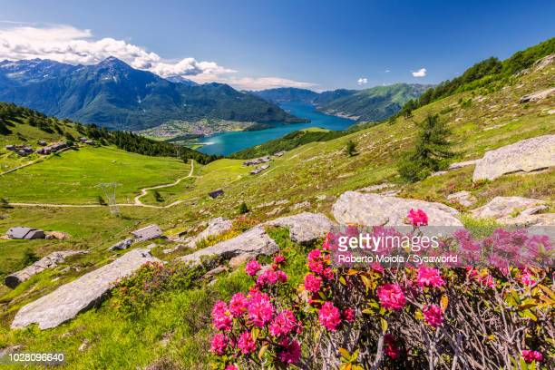 rhododendrons in bloom, lombardy, italy - lake como stock pictures, royalty-free photos & images