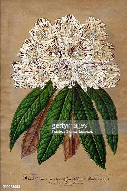 Rhododendrum GrandDuc de Bade varieties obtained by hybridization by the Flemish botanist A Verschaffelt and dedicated to the Grand Duke of Baden...
