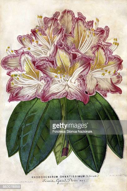 Rhododendrum Ornatissimum, hybrid variety cultivated in the open air. Illustration of P. Stroobant son, painted from life in the botanical garden...
