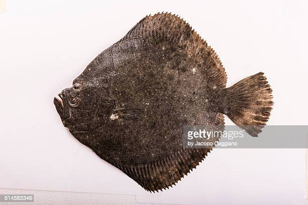 rhombus fish - jacopo caggiano stock pictures, royalty-free photos & images