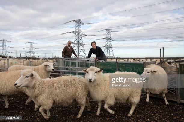 Rhona Thompson and father David Thompson of A J Thompson & Sons, grade Romney sheep for breeding on November 18, 2020 in Romney Marsh, England....