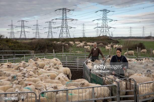 Rhona Thompson and father David Thompson of A J Thompson & Sons grade Romney sheep, for breeding on November 18, 2020 in Romney Marsh, England....