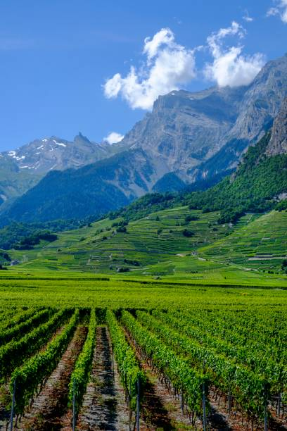 Rhone Valley, Conthey Vineyards, near Sion, Sion, Valais, Switzerland